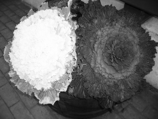 cabbage (2)